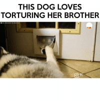 Memes, 🤖, and Torture: THIS DOG  LOVES  TORTURING HER BROTHER  DAL Siberians via Storyful  CO H Follow me (@hangars) for more! 💕 - - @hangars @hangars @hangars @hangars @hangars @hangars @hangars @hangars @hangars