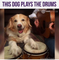 THIS DOG PLAYS THE DRUMS! 😂😂😂😂😂  Credit: AcousticTrench: THIS DOG PLAYS THE DRUMS  HIGHER PERSPECTIVE  Acoustic renc THIS DOG PLAYS THE DRUMS! 😂😂😂😂😂  Credit: AcousticTrench