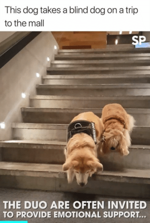 Heart, Dog, and Trip: This dog takes a blind dog on a trip  to the mal  SP  THE DUO ARE OFTEN INVITED  TO PROVIDE EMOTIONAL SUPPORT This has warmed my heart 🥰  Newsflare