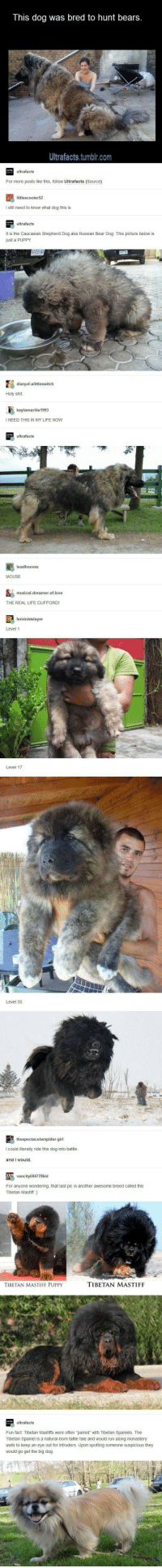 This dog was bred to hunt bears  Ultrafacts,tumbir.com  For more pos  thi falow Uttrafacts Coure  iniecooter5  t is the Cacasian Shephend Dog aka Russian Bear Dog This picture below  THE REAL LFE CLFFORD  Level 17  I could iteralily mde this dog into b  For anyone wondering, nat st pic is anoner avesone breed called the  oetan Mas  TISETAN MASTIFF PUPPY  TIBETAN MASTIFF  would po get thebo dg