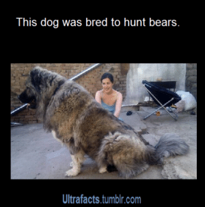"""Cute, God, and Life: This dog was bred to hunt bears.  Ultrafacts.tumblr.com ninjaspiderjuurouta:  ultrafacts:  vancity604778kid:  thespectacularspider-girl:  feministslayer:  musical-dreamer-of-love:  leadhooves:  ultrafacts:  kaylamariiie1993:  diaryof-alittleswitch:  ultrafacts:  littlescooter52:  ultrafacts:  For more posts like this, follow Ultrafacts (Source)  I still need to know what dog this is  It is the Caucasian Shepherd Dog aka Russian Bear Dog. This picture below is just a PUPPY.   Holy shit.  I NEED THIS IN MY LIFE NOW    MOUSE  THE REAL LIFE CLIFFORD!  Level 1  Level 17  Level 35   I could literally ride this dog into battle. and I would.  For anyone wondering, that last pic is another awesome breed called the Tibetan Mastiff :)    Fun fact: Tibetan Mastiffs were often """"paired"""" with Tibetan Spaniels. The Tibetan Spaniel is a natural-born tattle tale and would run along monastery walls to keep an eye out for intruders. Upon spotting someone suspicious they would go get the big dog.    N O. Oh my God that is so cute"""