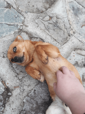 this doggo came up to me and demanded belly rubs, then he gave me this face of approval.: this doggo came up to me and demanded belly rubs, then he gave me this face of approval.