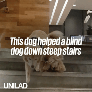 This service dog patiently helping his blind best friend down the stairs is too much 😭❤️️: This doghelpeda bilnd  dog downsteep stairs  UNILAD This service dog patiently helping his blind best friend down the stairs is too much 😭❤️️