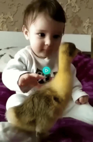 This duck has the complete attention of a baby…: This duck has the complete attention of a baby…