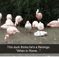 "Duck, Rome, and Flamingo: This duck thinks he's a flamingo  ""When in Rome...""."
