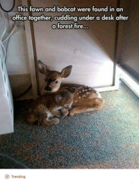 Dank, 🤖, and Forest: This fawn and bobcat were found in an  office together, cuddling under a desk after  a forest fire...  O Trending