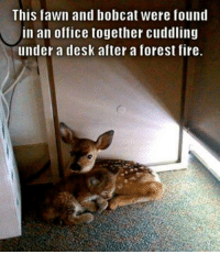 Fire, Memes, and Bobcat: This fawn and bobcat were found  in an office together cuddling  under a desk after a forest fire. Awww <3