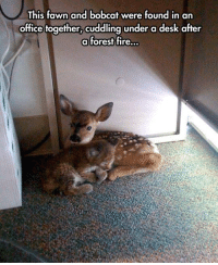 Fire, Memes, and Bobcat: This fawn and bobcat were found in an  office together, cuddling under a desk after  a forest fire