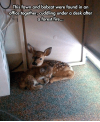 Fire, Grumpy Cat, and Bobcat: This fawn and bobcat were found in an  office together,  cuddling under a desk after  a forest fire.