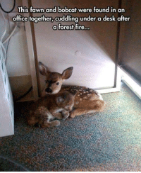 Memes, Bobcat, and Desk: This fawn and bobcat were found in an  office together, cuddling under a desk after  a forest fire...