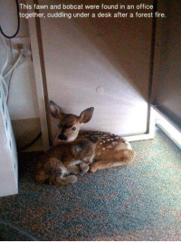 Dank, Bobcat, and Desk: This fawn and bobcat were found in an office  together, cuddling under a desk after a forest fire.