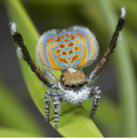 Complex, Memes, and Spider: This flashy fellow is a male peacock spider (genus: Maratus). These vibrant arachnids are famous for the colorful and iridescent markings on the abdomens of males used in courtship. Not only are these creatures visually striking, but they also have impressive dance moves. 💃 To seduce a mate, male Maratus spiders display their markings by raising their backend, all while performing a complex courtship dance complete with visual cues, vibrations, and even some percussive drumming. Maratus courtship rituals are not all fun and games, though: if a male's performance fails to impress a potential mate, he may become her next meal. 🍴 Talk about a high-stakes performance! Tag a friend with moves! Photo: Jurgen Otto. guffscience science nature animalbehavior earth education bestoftheday interesting didyouknow nowyouknow naturelovers natureshots nature_perfection animal awesomeanimals wildanimals wildlife naturephotography color spider maratus peacockspider courtship dance