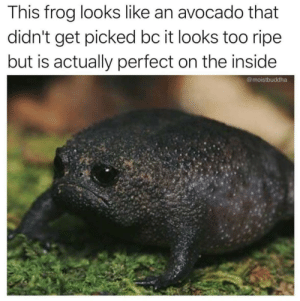 Dank, Memes, and Target: This frog looks like an avocado that  didn't get picked bc it looks too ripe  but is actually perfect on the inside  @moistbuddha Poor lil buddy :( by despisesunrise MORE MEMES