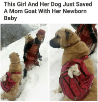 Memes, Baby Goat, and Baby Goats: This Girl And Her Dog Just Saved  A Mom Goat With Her Newborn  Baby Awe doggo Pupper baby goat Ha ha. I'm weak flatlined dead pettypost nochill teamnoharmdone noharmdone