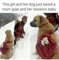 Memes, Baby Goat, and Baby Goats: This girl and her dog just saved a  mom goat and her newborn baby BABY GOAT IN A BACKPACK WORN BY A DOG 😭😭