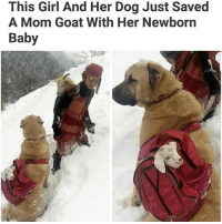 Memes, Baby Goat, and Baby Goats: This Girl And Her Dog Just Saved  A Mom Goat With Her Newborn  Baby Is this real life? I need to train my dog to carry baby goats around. @memes
