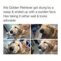 I'm so tired: this Golden Retriever got stung by a  wasp & ended up with a swollen face.  Hes taking it rather well & looks  adorable I'm so tired