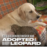 Dank, Cubs, and Golden Retriever: THIS GOLDEN RETRIEVER HAS  ADOPTED  BABY LEOPARD Zookeepers feared this leopard cub's mum would kill her, so they got a golden retriever to adopt her ❤️