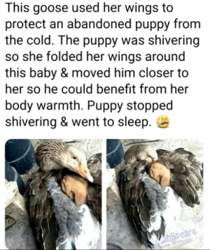 Be nice to turtles: This goose used her wings  protect an abandoned puppy from  the cold. The puppy was shivering  so she folded her wings around  this baby & moved him closer to  her so he could benefit from her  body warmth. Puppy stopped  shivering & went to sleep  hSpeare Be nice to turtles