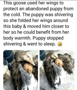 awesomacious:  We don't deserve animals: This goose used her wings to  protect an abandoned puppy from  the cold. The puppy was shivering  so she folded her wings around  this baby & moved him closer to  her so he could benefit from her  body warmth. Puppy stopped  shivering & went to sleep.  hSpeare awesomacious:  We don't deserve animals