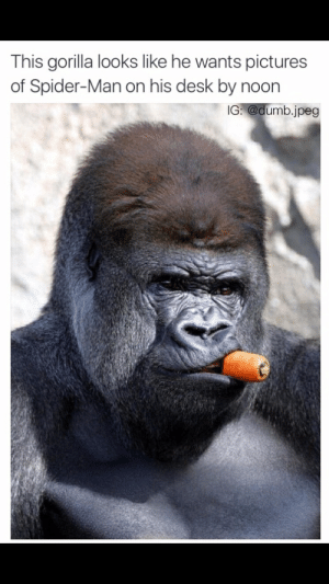 The best gorilla memes :) Memedroid: This gorilla looks like he wants pictures  of Spider-Man on his desk by noon  IG:@dumb.jpeg The best gorilla memes :) Memedroid
