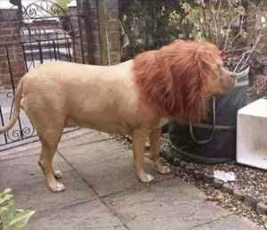 This guy put a wig on his dog to scare his neighbors: This guy put a wig on his dog to scare his neighbors