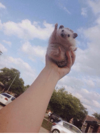 Hedgehog, Girl Memes, and Can: this hedgehog is cheering for u bc u can do anything https://t.co/Pn3JuDDXeO