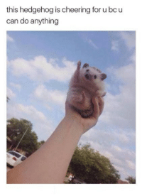 Hedgehog, Humans of Tumblr, and Can: this hedgehog is cheering for u bcu  can do anything