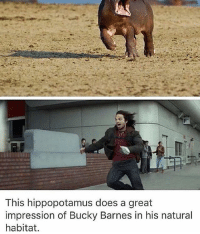 Memes, 🤖, and Hippopotamus: This hippopotamus does a great  impression of Bucky Barnes in his natural  habitat. Bucky?😂 @marvelousfacts