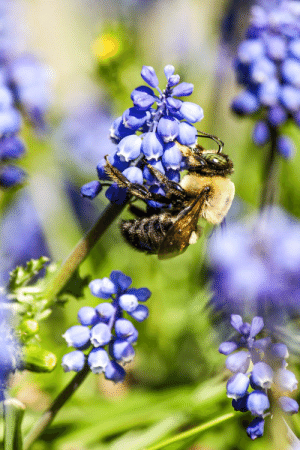 This Honeybee I found on a Grape Hyacinth.: This Honeybee I found on a Grape Hyacinth.
