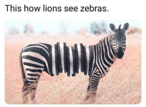 Finally some good food!: This how lions see zebras. Finally some good food!