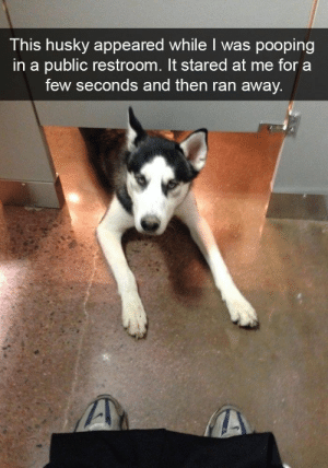 Dogs, Lol, and Love: This husky appeared while I was pooping  in a public restroom. It stared at me for a  few seconds and then ran away. We love Huskies for so many reasons but it's hard to just share that love with words. That's why we've collected this meme dump -- all Husky-related memes, pictures, and snaps, to share our love! #dogs #funnydogs #dogmemes #hilariousdogmemes #memes #dog #husky #huskymemes #huskydogs #lol #laughing #Hilarious #KYM #Memesdaily
