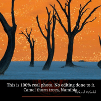 Memes, 🤖, and Camel: This is 100% real photo. No editing done to it.  Camel thorn trees, Namibia, I worl  I