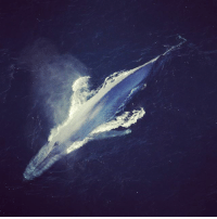 Animals, Memes, and Animal: This is a blue whale. These marine mammals are the largest animals on Earth, and are even larger than almost all known dinosaurs. As growing calves, blue whales gain weight quickly, as much as 90 kilograms (198 lb) every day. 😮 As mature adults, they then reach a length of up to about 30 meters (98 ft), and a weight of up to around 181 metric tons (~400,000 lb)! What's your favorite big animal? Let us know! Photo: NOAA. guffscience science biology marinebiology nature ocean earth education bestoftheday interesting didyouknow nowyouknow aerialphotography noaa naturephotography biganimal big animal bluewhale whale