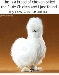How have I gone my entire life not knowing that there is in fact a breed of fluffy chickens called the silkie chicken. Anyone wanna start a silkie chicken farm with me??: This is a breed of chicken called  a the Silkie Chicken and just found  my new favorite animal  @BOYWITHNOJOB How have I gone my entire life not knowing that there is in fact a breed of fluffy chickens called the silkie chicken. Anyone wanna start a silkie chicken farm with me??