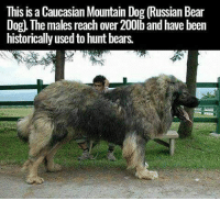 This is a Caucasian Moumtain Dog (Russian Bear  Dog), The males reach over 200lb and have been  historically used to hunt bears.