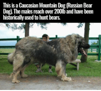 This is a Caucasian Mountain Dog Russian Bear  Dog. ne males reach over 200lb and have been  historically used to hunt bears. Holy-!
