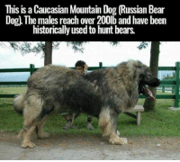 This is a Caucasian Mountain Dog Russian Bear  Dog The males reach over 200b and have been  historically used to hunt bears.