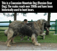 This is a Caucasian Mountain Dog (Russian Bear  Dog. The males reach over 200lb and have been  historically used to hunt bears.