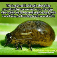 Memes, 🤖, and Wasp: This is a Cereal leaf beetle after being  parasitized bya parasitoid wasp. The eggs  hatch within the larvae and begin fo feed while  it is still dlive,before they burst out and killit  @horrorpictureswbu  @horrorpictureswbu