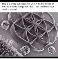 "Energy, I Bet, and Life: This is a cross cut section of DNA Its the flower of  life and it holds the golden ratio. I bet that blew your  mind. It should What Ancient Secrets Lie Within the FlowerOfLife? The Flower of Life is a name for a geometrical figure composed of seven or more evenly-spaced, overlapping circles. This figure, used as a decorative motif since ancient times, forms a flower-like pattern with the symmetrical structure of a hexagon. The perfect form, proportion and harmony of the flower of life has been known to philosophers, architects and artist around the world. Pagans consider it to be sacred geometry containing ancient religious value depicting the fundamental forms of space and time. Figures as prominent as LeonardodaVinci are said to have ascribed significance to the Flower of Life and three similar symbols, called the "" EggofLife,"" the "" FruitofLife,"" the "" SeedofLife"". The 'egg of life' is said to form the basis for music as the distances between the spheres is identical to the distances between the tones and the half tones in music. It is also identical to the cellular structure of the third embryonic division (The first cell divides into two cells, then to four cells then to eight). Thus this same structure as it is further developed, creates the human body and all of the energy systems. The oldest known examples of the Flower of Life are believed to be those present in the TempleOfOsiris in Abydos, Egypt. Most archaeologists maintain that they are at least 6,000 years old, though some have argued that it dates to the 2 nd century AD. The most peculiar feature of the Flower of Life in Abydos is that it appears that it was not carved into the granite but instead may have been burned into the granite or somehow drawn on it with incredible precision. Image courtesy of @drdre81. 4biddenknowledge reporting live from TheMatrix 😎"