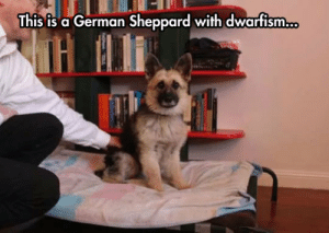 Tumblr, Blog, and Http: This is a German Sheppard with dwartism... srsfunny:So What Is This, A German Sheppard For Ants?
