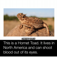 Thanks so much for 271k! 👻✊You guys rock! Doing a big giveaway at 300k!😈🖤: This is a Hornet Toad. It lives in  North America and can shoot  blood out of its eyes Thanks so much for 271k! 👻✊You guys rock! Doing a big giveaway at 300k!😈🖤
