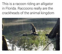 Kingdom, Racoon, and This Is: This is a racoon riding an alligator  in Florida. Raccoons really are the  crackheads of the animal kingdom