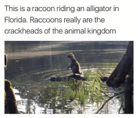 Kingdom, Racoon, and This Is: This is a racoon riding an alligator in  Florida. Raccoons really are the  crackheads of the animal kingdom 💀💀💀