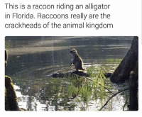 Bruh, Memes, and Alligator: This is a racoon riding an alligator  in Florida. Raccoons really are the  crackheads of the animal kingdom Bruh🤣lol