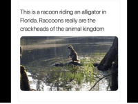 Alligator, Animal, and Florida: This is a racoon riding an alligator in  Florida. Raccoons really are the  crackheads of the animal kingdom Survival of the fittest ?