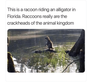 Alligator, Animal, and Florida: This is a racoon riding an alligator in  Florida. Raccoons really are the  crackheads of the animal kingdom Survival of the fittest.