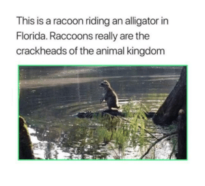 Alligator, Animal, and Florida: This is a racoon riding an alligator in  Florida. Raccoons really are the  crackheads of the animal kingdom Aint no thing like me except me.