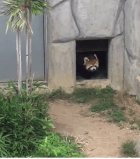 this is a red panda... isn't it just the cutest thing ever 😍😭 https://t.co/CxSLNXW2He: this is a red panda... isn't it just the cutest thing ever 😍😭 https://t.co/CxSLNXW2He